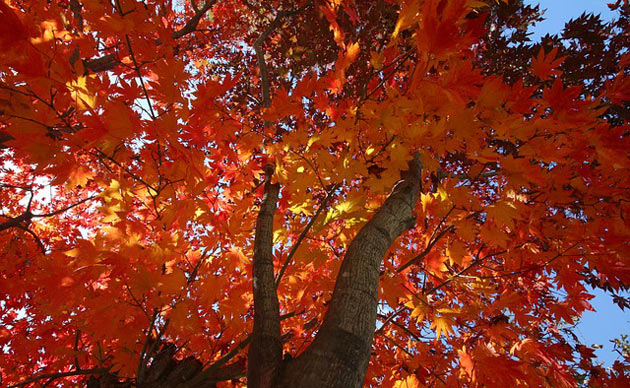 fast growing trees red maple