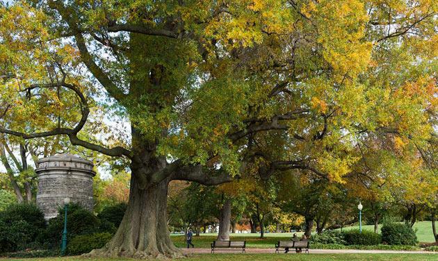 willow oak or quercus phellos
