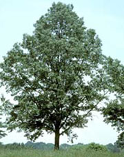 sawtooth oak