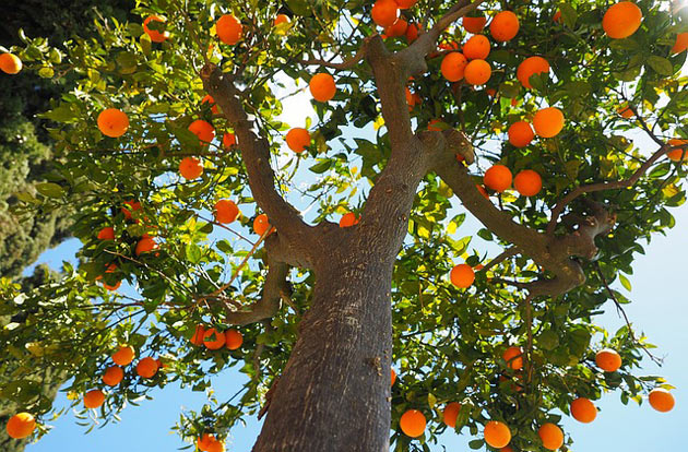 standard size orange fruit tree