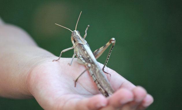 grasshopper garden pest