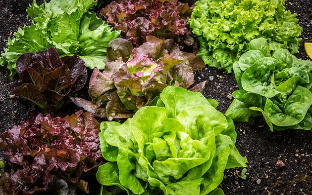 home vegetables lettuce