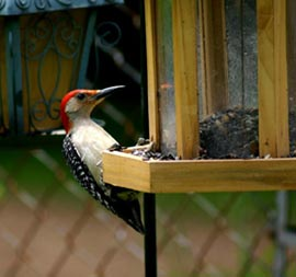 woodpecker-at-feeder.jpg
