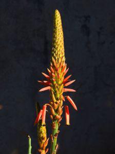 aloe-vera-flowers.jpg