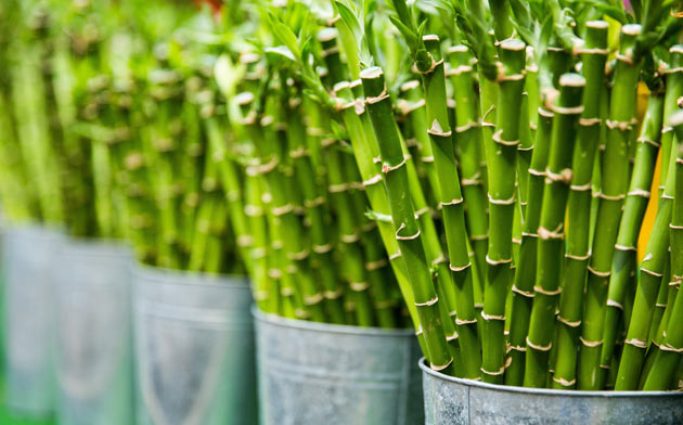 lucky bamboo sold in a store