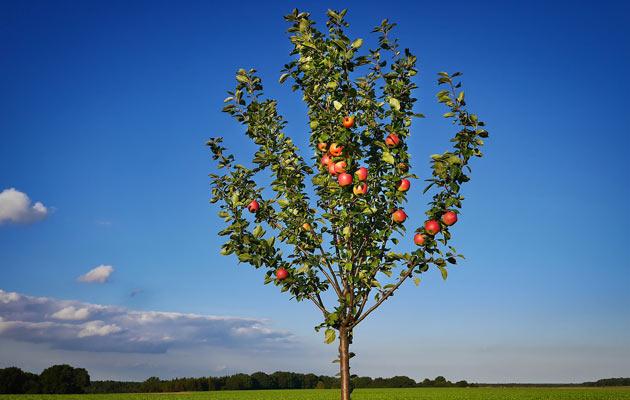 tending to apple trees