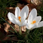 Growing bulbs in spring