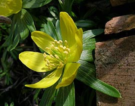 winter-aconite.jpg