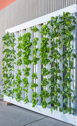 aeroponic plants