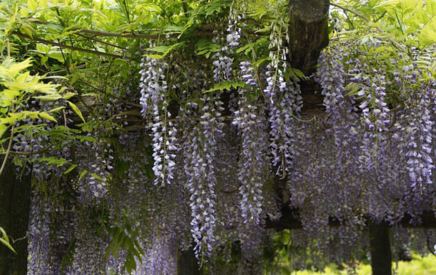 wisteria sinensis for terrace gardening
