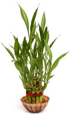 Lucky Bamboo cuttings