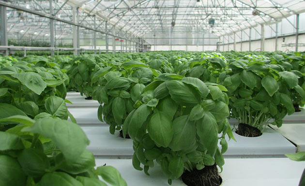 hydroponic basil in a greenhouse