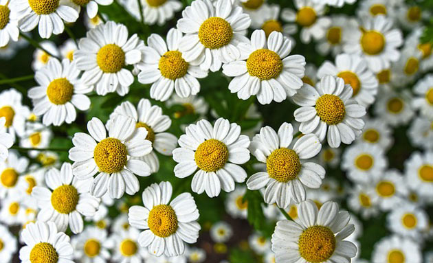 chamomile herb flowers
