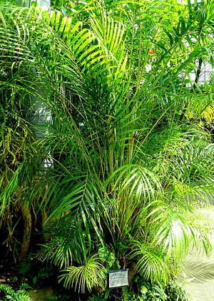 areca palm species