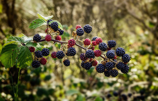 blackberry bush fruits
