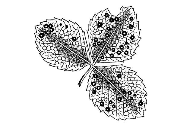 leaf spot disease