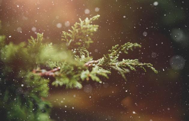 christmas tree hardiness