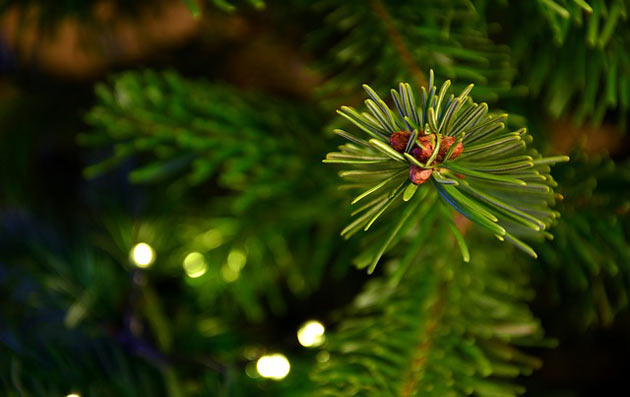 christmas tree needles