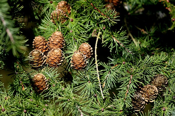 Keeping Your Live Christmas Tree Fresh For Longer