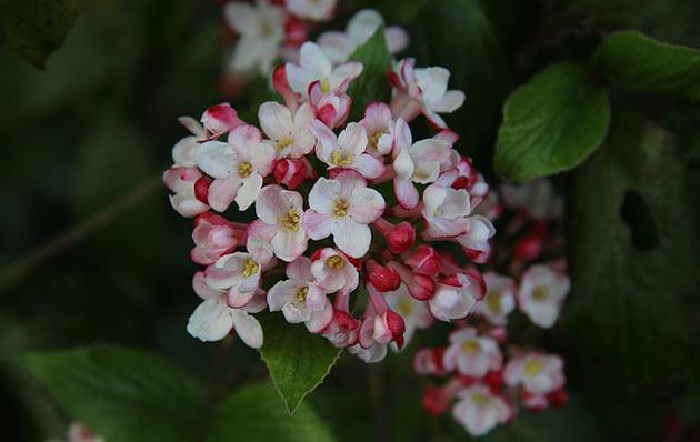 viburnum blooms