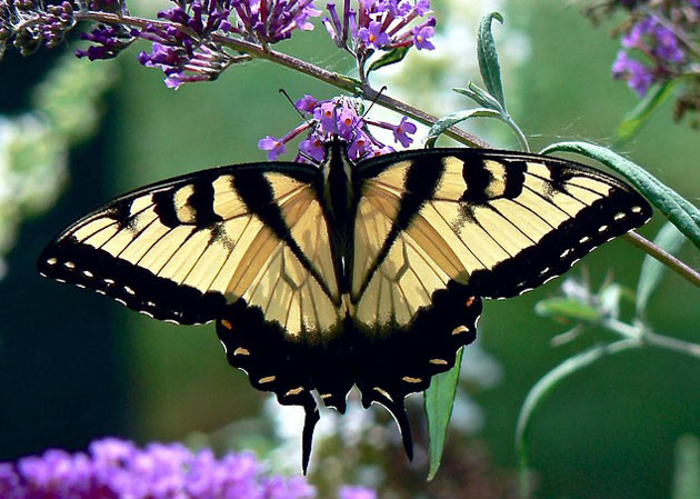 garden butterfly eastern tiger swallowtail