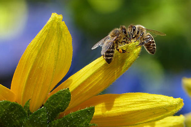 honey bees on flower