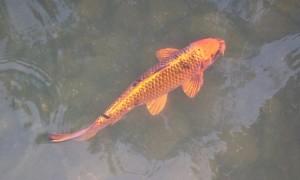Rearing koi fish