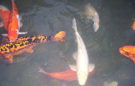 Rearing koi fish gardening site for Ph for koi fish