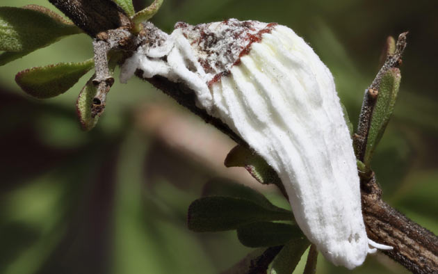white mealybug