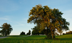 Considerations when buying a fruit tree
