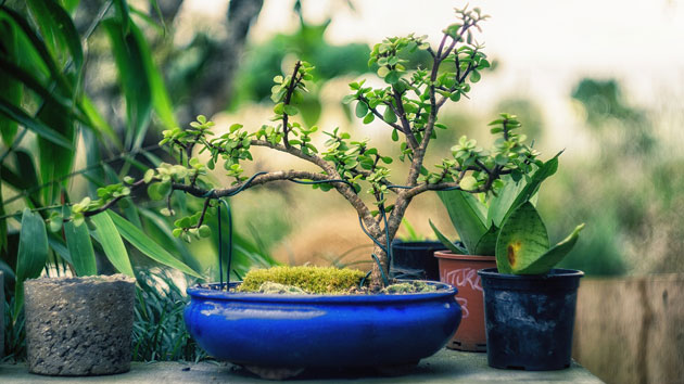 young bonsai tree