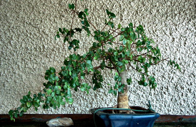 Basic Styles In Bonsai Gardening Site