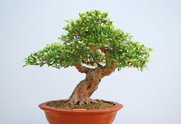 slanting style bonsai