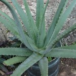 A primer on aloes