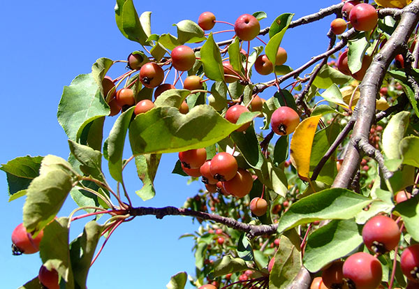 On tending apple trees