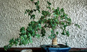 Growing Indoor Bonsai