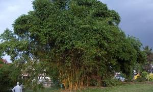 Clump bamboo in gardening