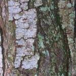 The versatile neem tree