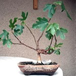 Grow your first bonsai from seed