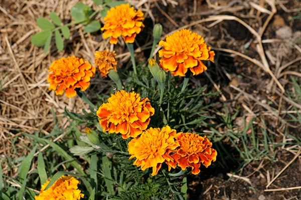 Crop Rotation Improves Soil Structure Naturally ... Marigold Plant With Roots