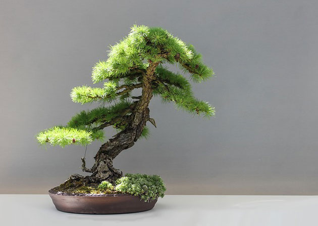 The Slanting Style In Bonsai Gardening Site