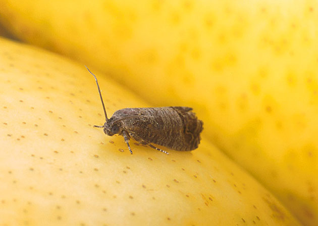 how to kill codling moth