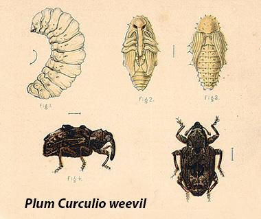 plum curculio weevil