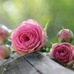 Growing Healthy Rose Bushes