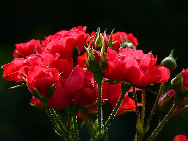 upright red rose stalks