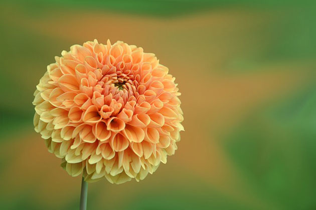 orange dahlia in the sun