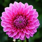 The Basics of Growing Dahlias