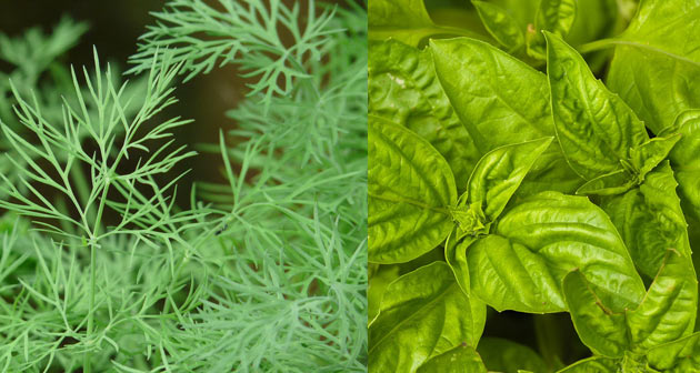 dill and basil as tomato companions