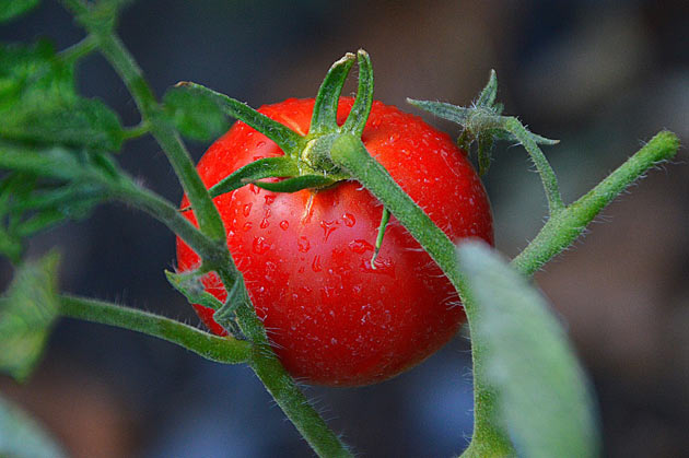 single tomato closeup view
