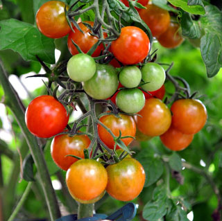 tomatos on shrub